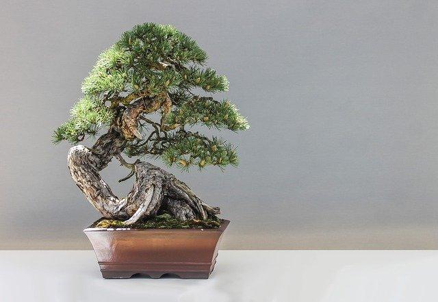 bonsaj, borovice