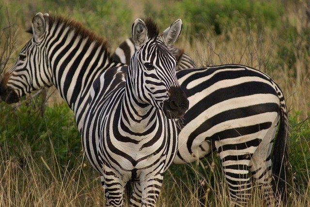 Zebry v Africe